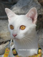 2017.10.28-comprar gato barcelona khao manee cat gato blanco 02