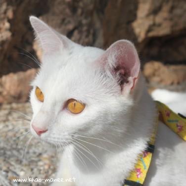 2017.10.28-comprar gato barcelona khao manee cat gato blanco 03