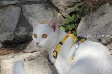 2017.10.28-comprar gato barcelona khao manee cat gato blanco 04