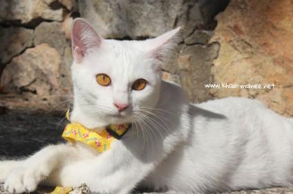 2017.10.28-comprar gato barcelona khao manee cat gato blanco 07