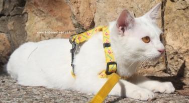 2017.10.28-comprar gato barcelona khao manee cat gato blanco 09