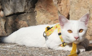2017.10.28-comprar gato barcelona khao manee cat gato blanco 11