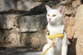 2017.10.28-comprar gato barcelona khao manee cat gato blanco 12
