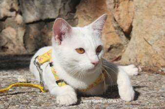2017.10.28-comprar gato barcelona khao manee cat gato blanco 15