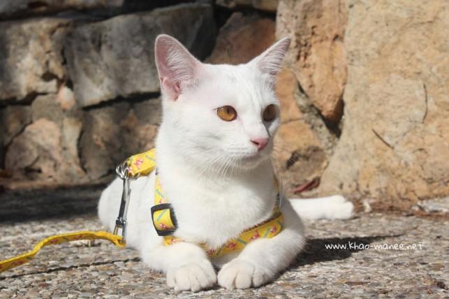 2017.10.28-comprar gato barcelona khao manee cat gato blanco 17
