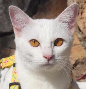 2017.10.28-comprar gato barcelona khao manee cat gato blanco 18
