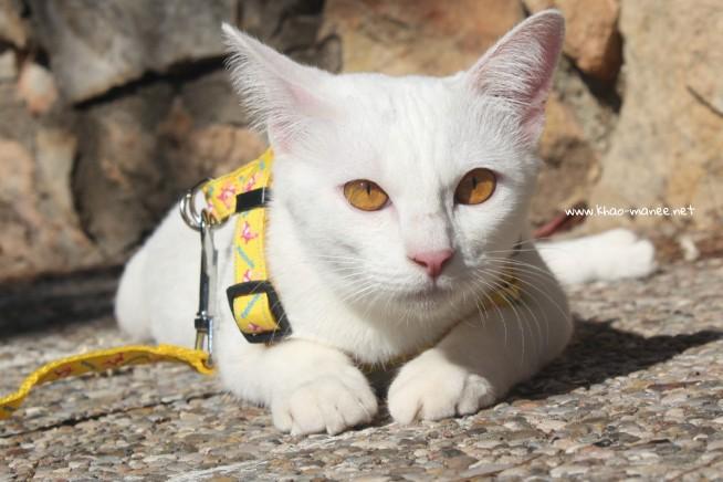 2017.10.28-comprar gato barcelona khao manee cat gato blanco 19