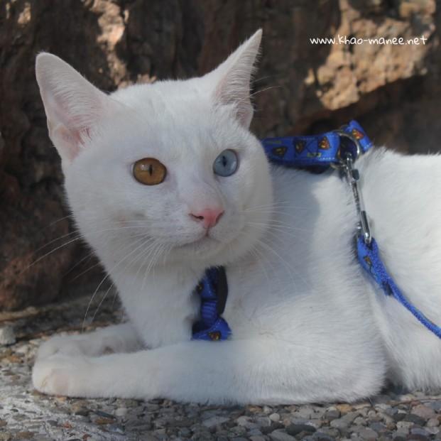 2017.10.28-comprar gato barcelona khao manee cat gato blanco 22