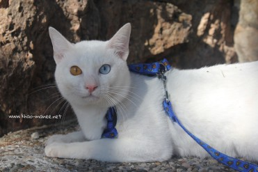 2017.10.28-comprar gato barcelona khao manee cat gato blanco 23