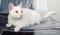 2017.11.01-comprar gato barcelona khao manee cat gato blanco 02