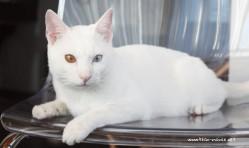 2017.11.01-comprar gato barcelona khao manee cat gato blanco 04