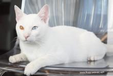 2017.11.01-comprar gato barcelona khao manee cat gato blanco 05