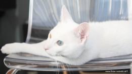 2017.11.01-comprar gato barcelona khao manee cat gato blanco 06