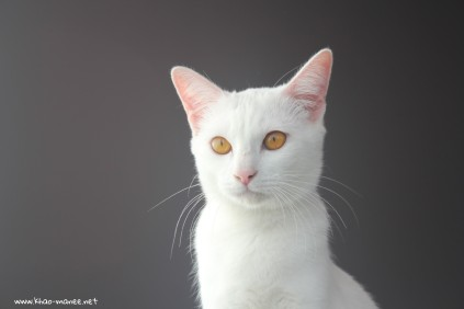 2017.11.01-comprar gato barcelona khao manee cat gato blanco 09