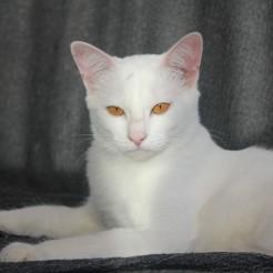 2017.11.01-comprar gato barcelona khao manee cat gato blanco 12
