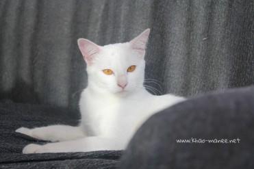 2017.11.01-comprar gato barcelona khao manee cat gato blanco 14