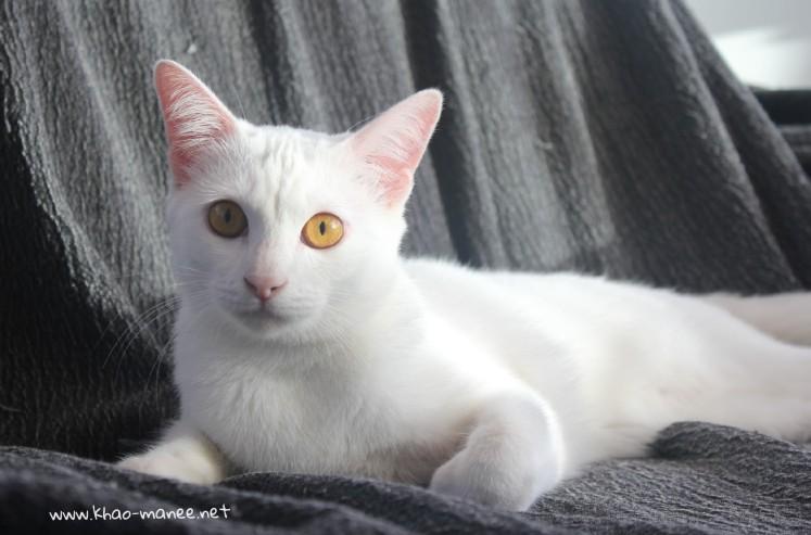2017.11.01-comprar gato barcelona khao manee cat gato blanco 15