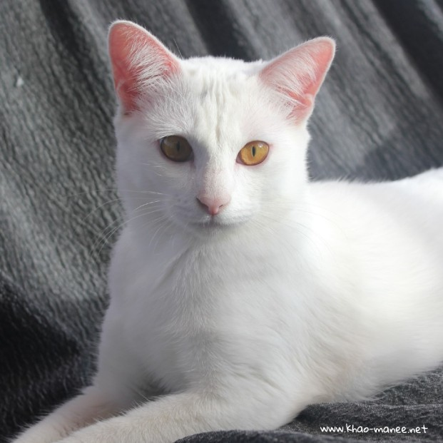 2017.11.01-comprar gato barcelona khao manee cat gato blanco 16