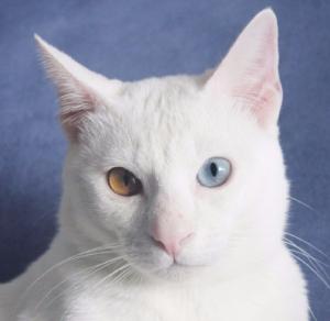 2017.11.01-comprar gato barcelona khao manee cat gato blanco 17