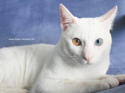 2017.11.01-comprar gato barcelona khao manee cat gato blanco 18