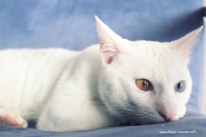 2017.11.01-comprar gato barcelona khao manee cat gato blanco 19