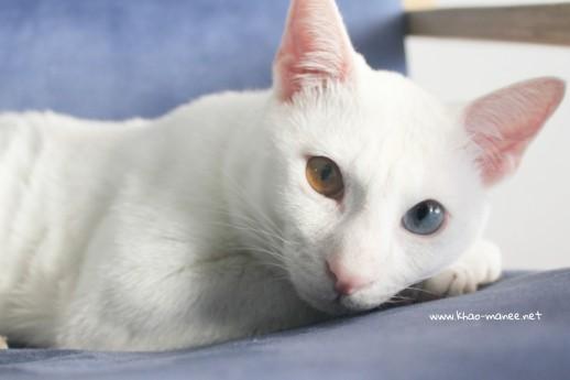 2017.11.01-comprar gato barcelona khao manee cat gato blanco 20