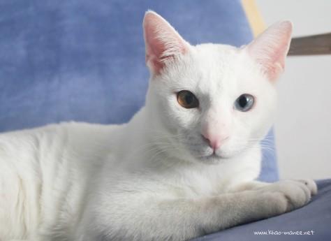 2017.11.01-comprar gato barcelona khao manee cat gato blanco 21