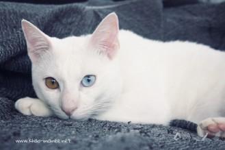 2017.11.01-comprar gato barcelona khao manee cat gato blanco 23