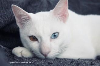 2017.11.01-comprar gato barcelona khao manee cat gato blanco 25