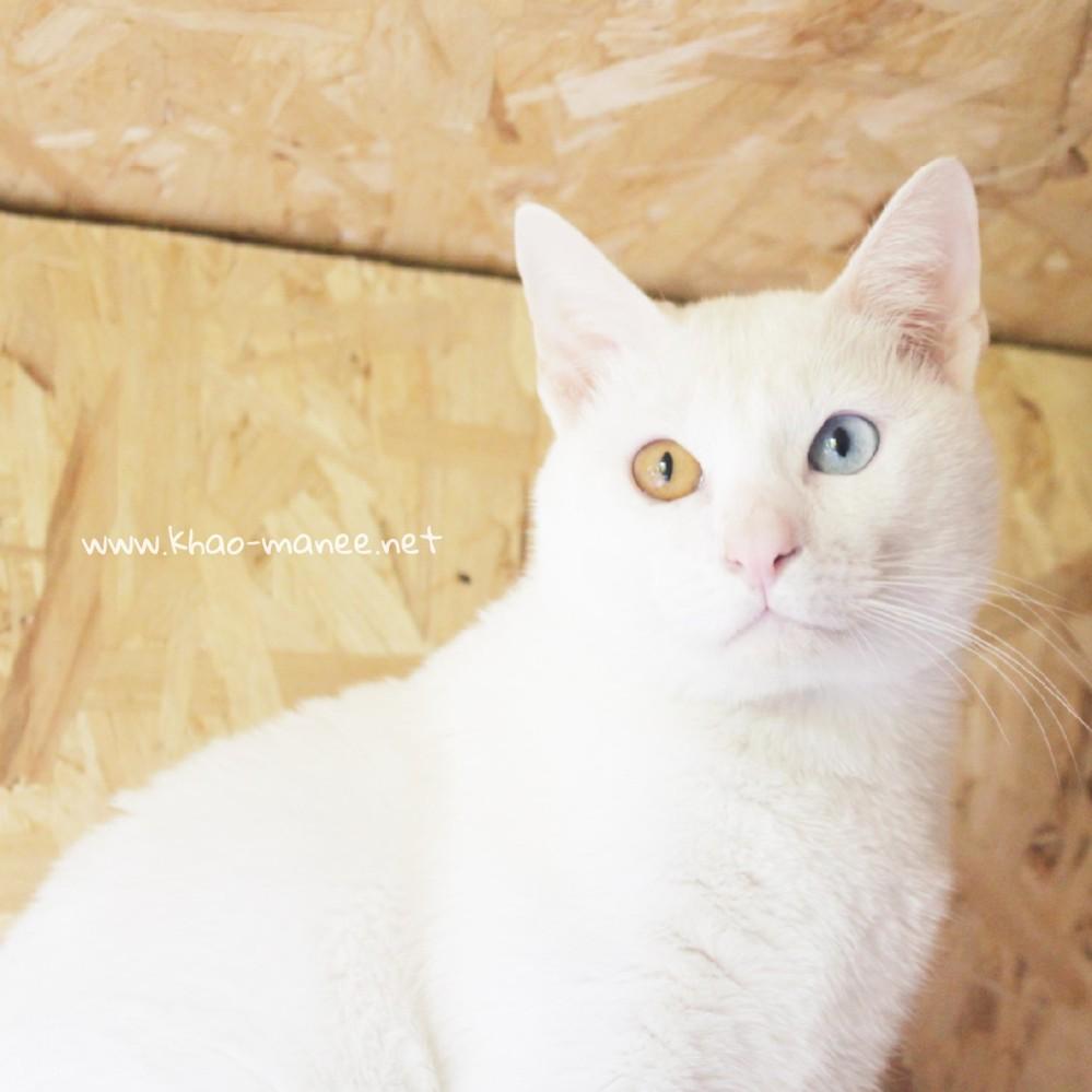 2017.11.18-comprar gato barcelona khao manee cat gato blanco 02