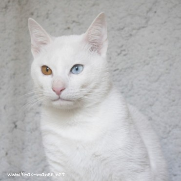 2017.11.18-comprar gato barcelona khao manee cat gato blanco 05