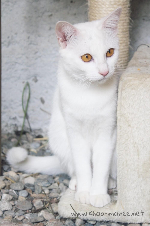 2017.11.18-comprar gato barcelona khao manee cat gato blanco 06