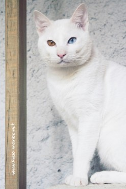 2017.11.18-comprar gato barcelona khao manee cat gato blanco 07 (1)