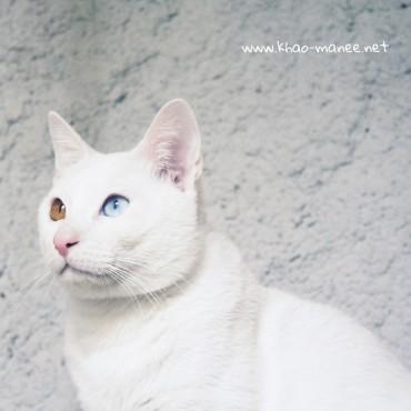 2017.11.18-comprar gato barcelona khao manee cat gato blanco 08