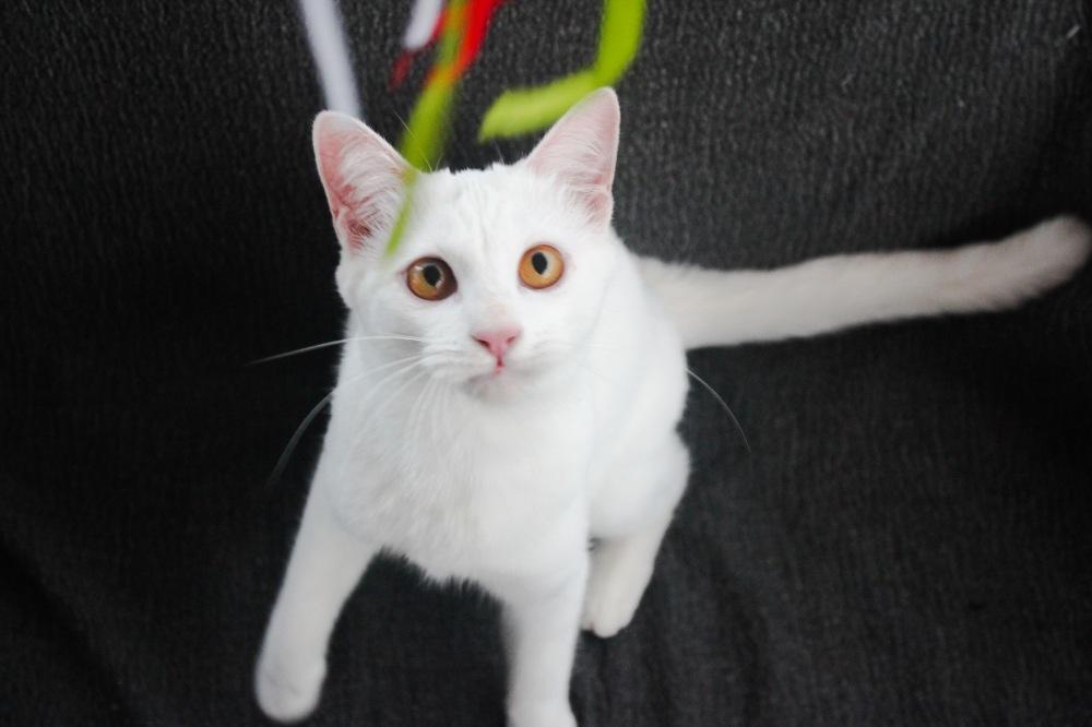 2017.12.23-khao manee cat gato blanco barcelona comprar gato 02
