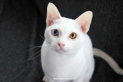2018.02.04-comprar gato barcelona khao manee cat gato blanco 01