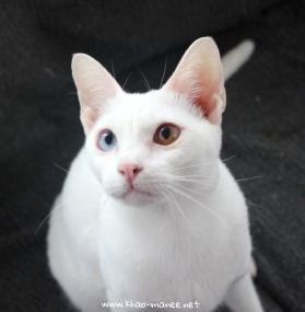 gato barcelona khao manee cat gato blanco 02