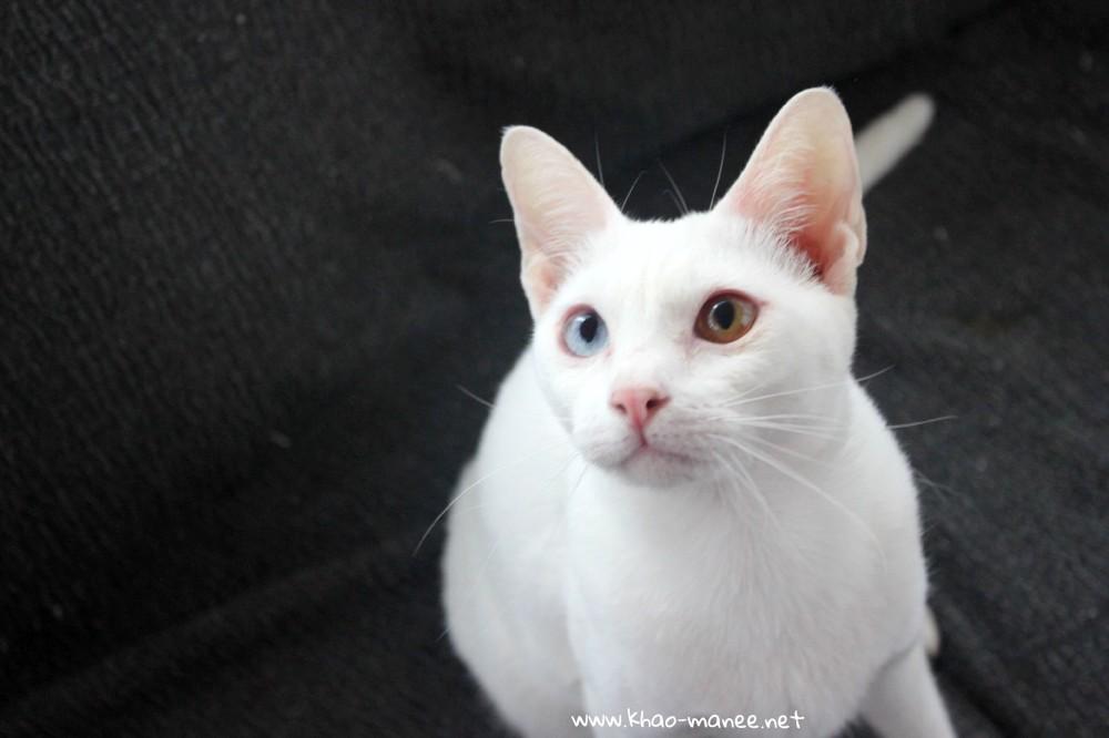 2018.02.04-comprar gato barcelona khao manee cat gato blanco 02