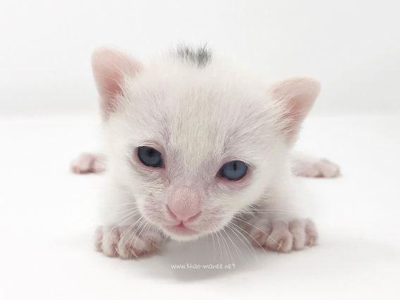 2018.03.16-comprar gato barcelona khao manee cat barcelona 02.