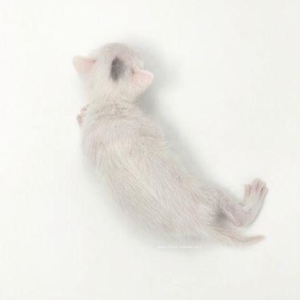 2018.03.16-comprar gato barcelona khao manee cat barcelona 03