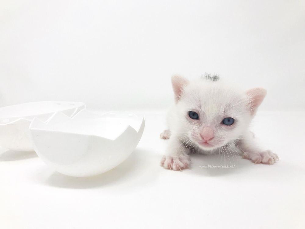 2018.03.16-comprar gato barcelona khao manee cat barcelona 04