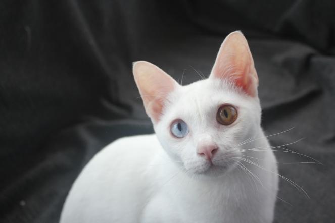 gato khao manee barcelona cat 02