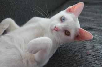 gato khao manee barcelona cat 03