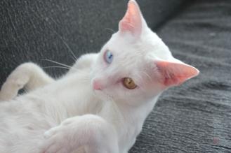 gato khao manee barcelona cat 05