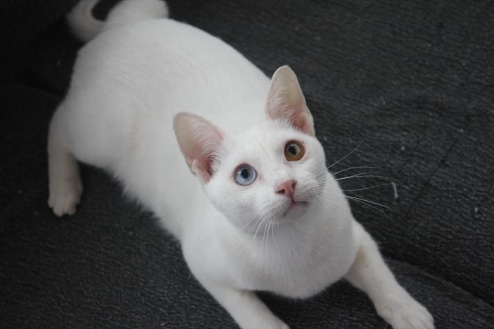 gato khao manee barcelona cat 06