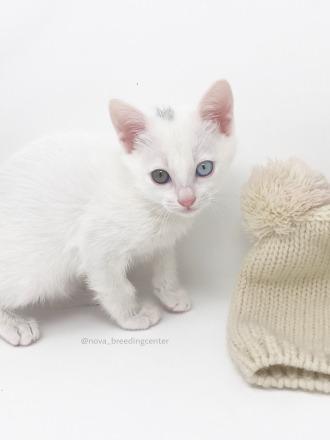 khao manee cat barcelona gato khao manee 02