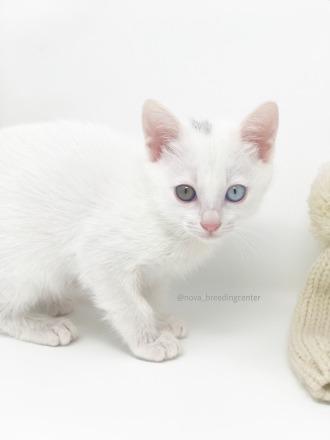 khao manee cat barcelona gato khao manee 03