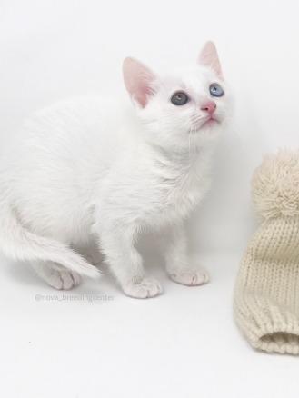 khao manee cat barcelona gato khao manee 04