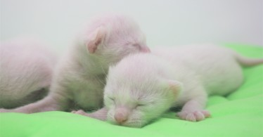 2018.06.09-gato khao manee barcelona khao manee kitten 05