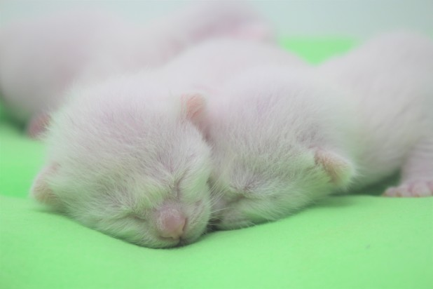 2018.06.09-gato khao manee barcelona khao manee kitten 07